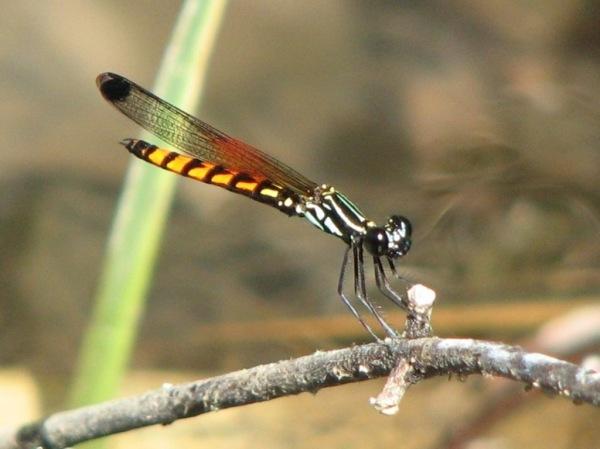 Capung Odonata Sulawesi 4A