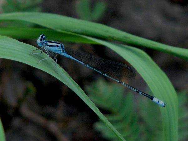 Capung Odonata Sulawesi 14C