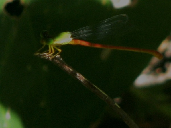 Capung Odonata Sulawesi 16I