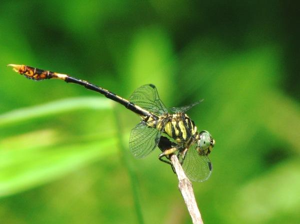 Capung Odonata Sulawesi 17F