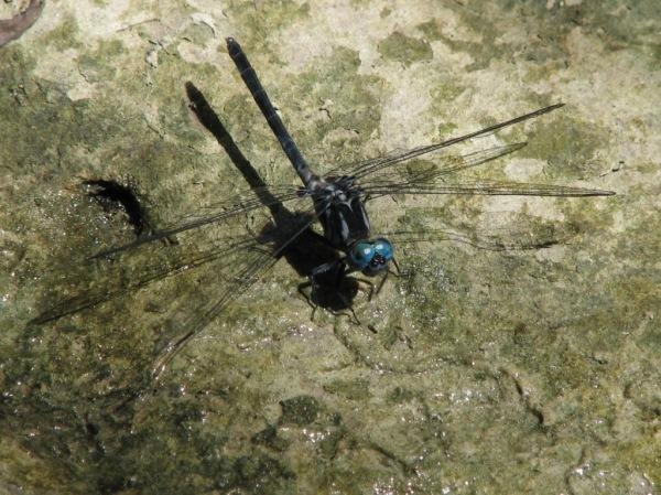 Capung Odonata Sulawesi 8K