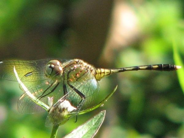 Capung Odonata Sulawesi 27B
