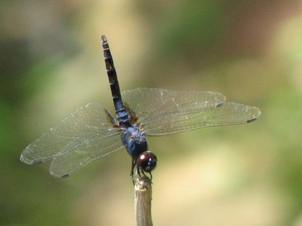 Capung Odonata Sulawesi 29A