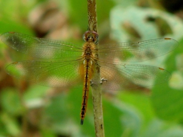 Capung Odonata Sulawesi 32F