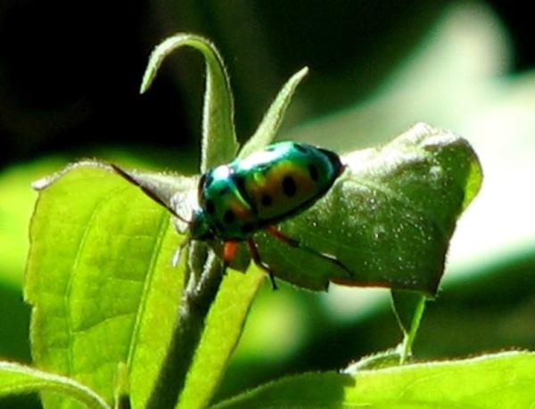 Kumbang Coleoptera Sulsel 1E